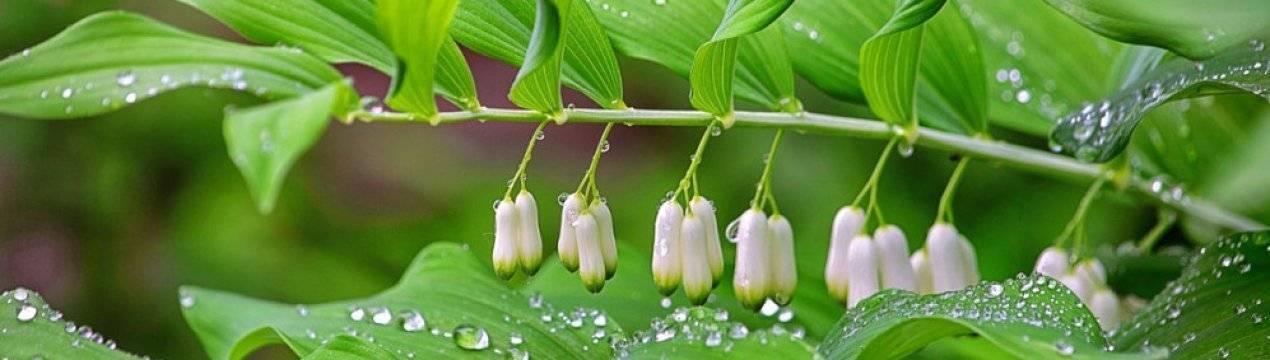 Лекарственное растение купена душистая: лечебные свойства травы и корней, противопоказания и рецепты применения для лечения