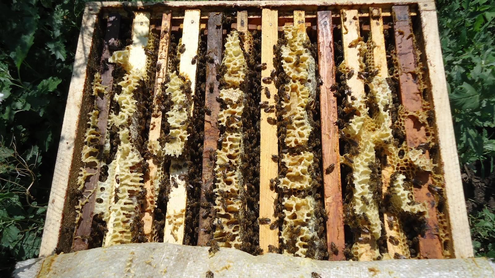 Отводки пчел весной: как сделать без матки и на плодную матку, видео