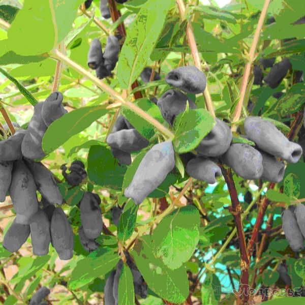 Подборка самых лучших, вкусных и сладких сортов жимолости для выращивания в разных регионах