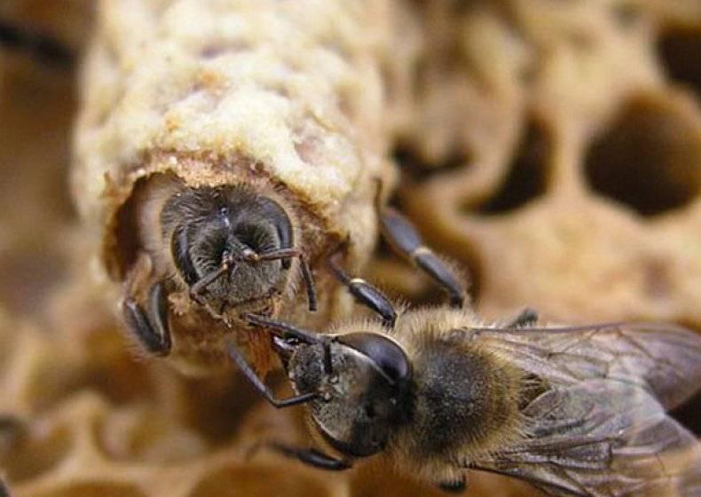 Выведение пчелиных маток с помощью системы никот