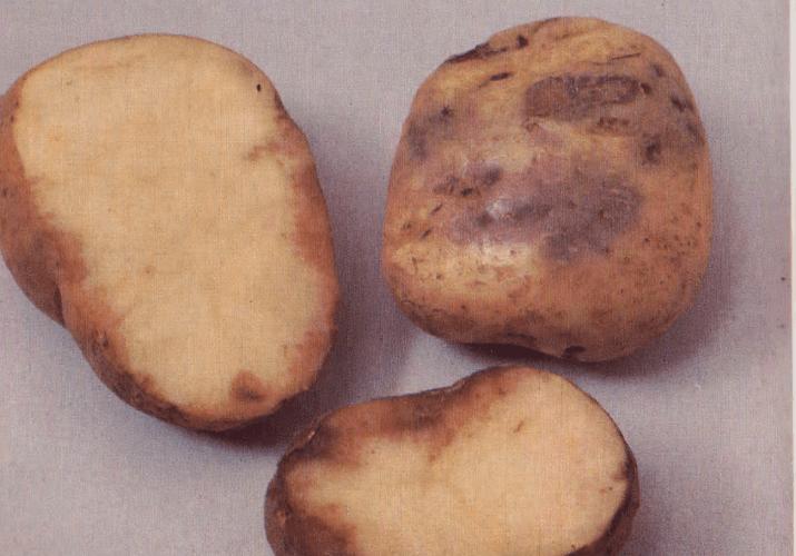 Описание сорта картофеля лапоть