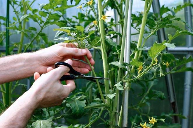 Как вырастить детерминантные томаты в теплице?