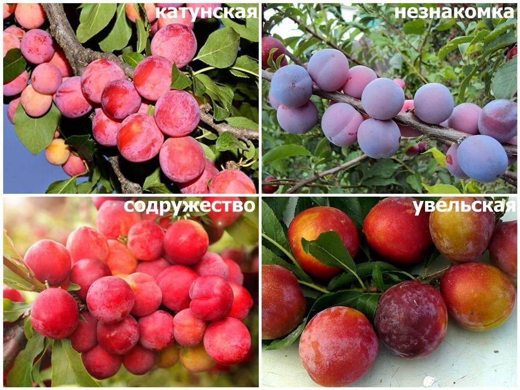 Лучшие сорта сливы для сибири с названием и описанием