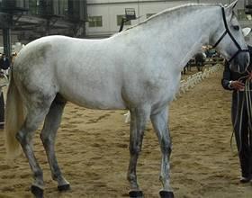 Андалузская лошадь: характер, масти, фото - общая информация - 2020