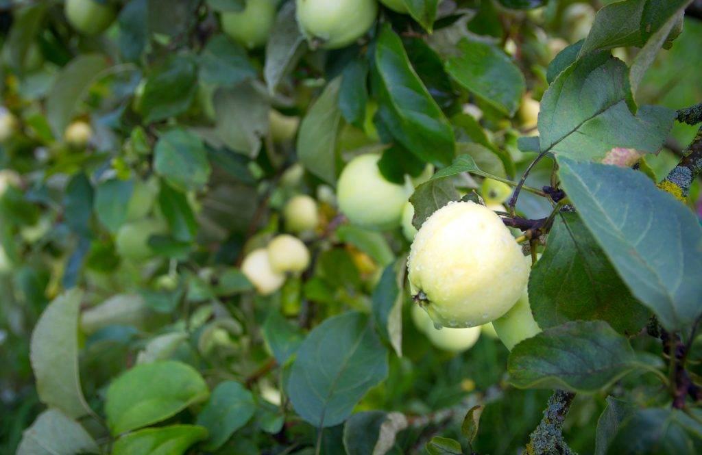 Лучшие советы по уходу и посадки яблони — мечта: описание, плюсы и минусы сорта