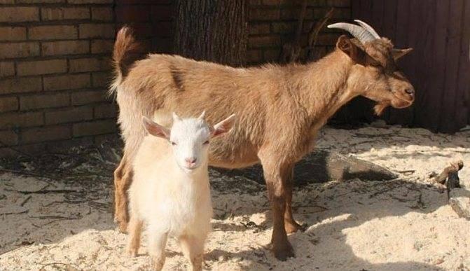 Камерунский карликовые козы: описание породы, условия содержания, характеристики и фото