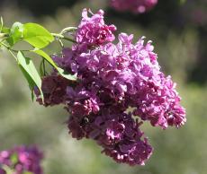 Сирень примроуз (primrose): описание, посадка и уход