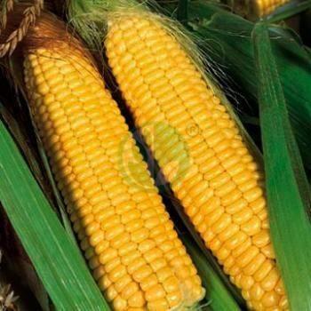 Как выращивать сахарную кукурузу сорта спирит?