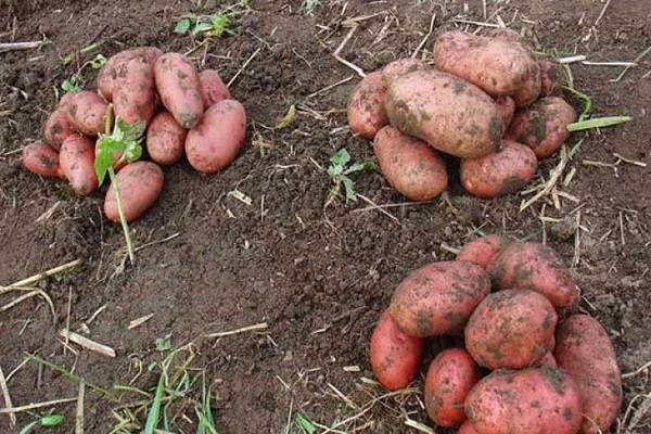 Особенности посадки картофеля ильинский