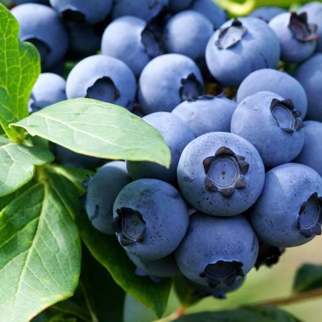 Голубика «эрлиблю»: описание и агротехника сорта