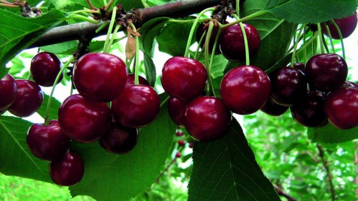 Сорт вишни шпанка