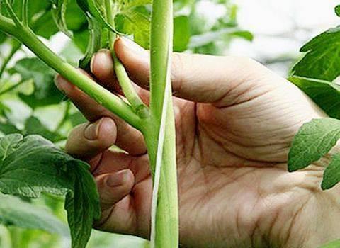 Как прищипывать огурцы в теплице: 5 рекомендаций и пошаговое фото