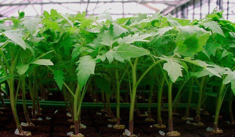 Как правильно вырастить рассаду помидоров в домашних условиях