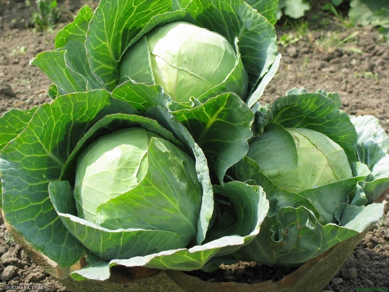 Капуста колобок: описание сорта, фото, отзывы и урожайность
