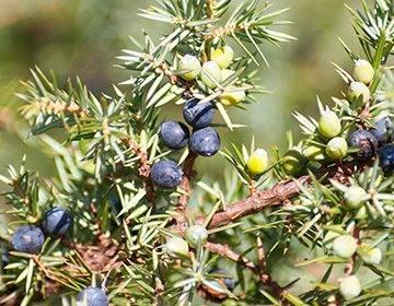 Ягоды можжевельника: польза и вред для здоровья