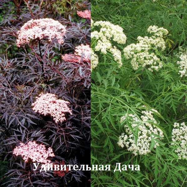 Бузина красная: полезные свойства и фото растения