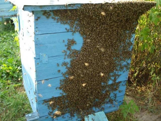 Роение пчел: причины, меры его предотвращения, где лучше ставить ловушки