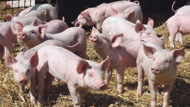 Свиной навоз как удобрение: как применять на огороде, отзывы