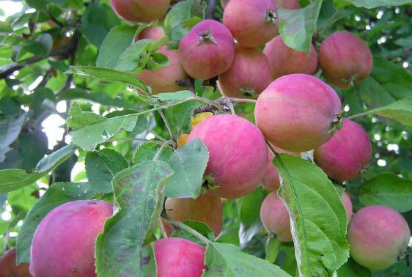 Сорт яблони бельфлер-китайка: описание, особенности ухода и выращивания