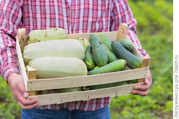Как правильно хранить кабачки?