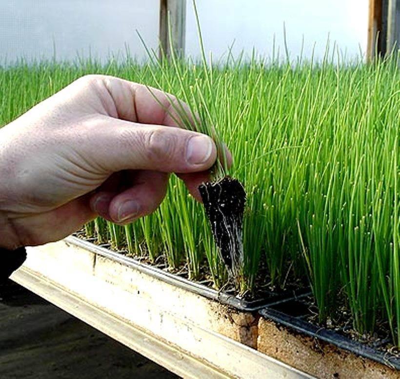 Выращиваем лук-батун на своем огороде: особенности посадки и ухода