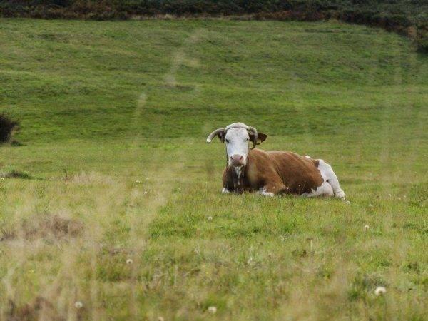 Принципы лечения серозного мастита у коров