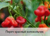 Выращивание перца колокольчик: все особенности сорта