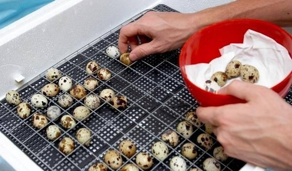 Инкубация перепелиных яиц: закладка, условия, правила и рекомендованный инкубатор