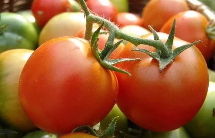Сорт томата «бабушкино»: описание, характеристика, посев на рассаду, подкормка, урожайность, фото, видео и самые распространенные болезни томатов