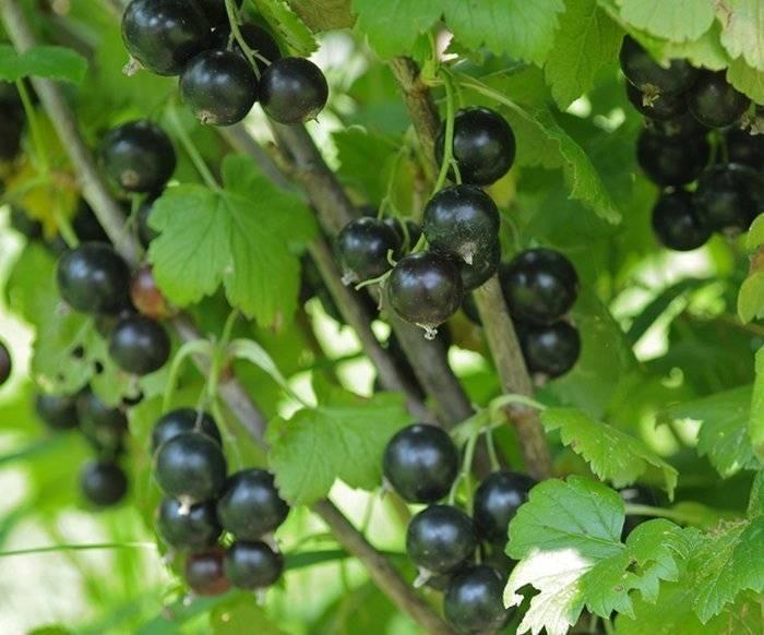 Смородина черный жемчуг: описание, отзывы, фото