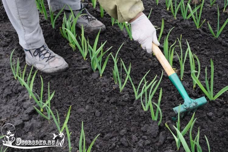 Чем подкормить лук, чтобы он вырос крупным и вкусным