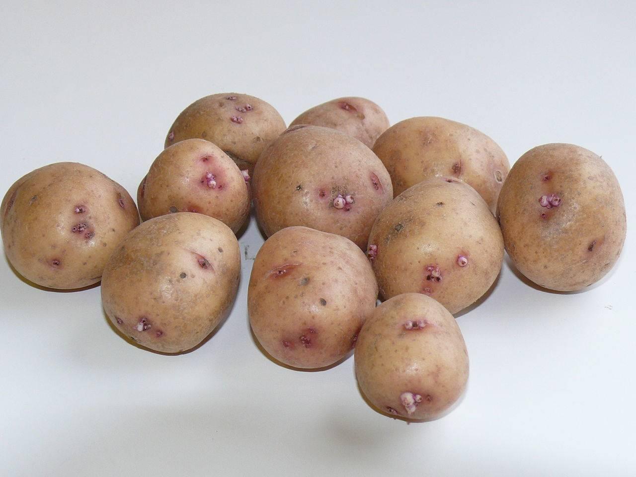 Картофель гулливер: описание и характеристики сорта, посадка и уход, отзывы с фото