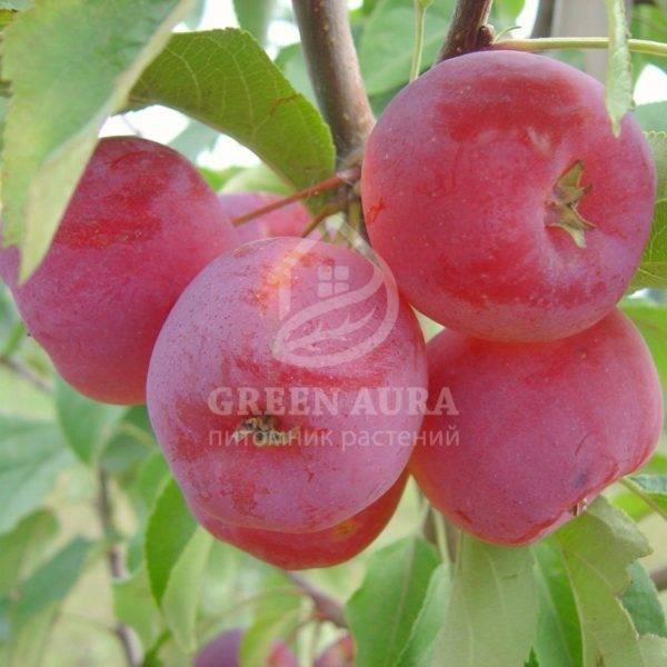 Множественные разновидности яблонь китаек
