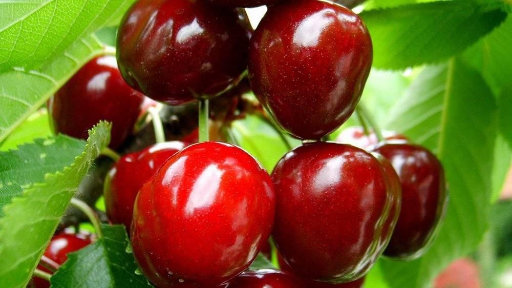 Описание и особенности выращивания черешни сорта крупноплодная