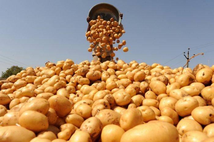 Белорусская красавица — описание вкусного и урожайного сорта картофеля «янка»