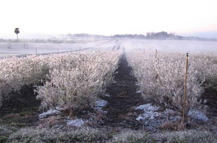 Как подготовить садовую голубику к зиме. голубика: подготовка к зиме осенью. выбор и подготовка посадочного материала