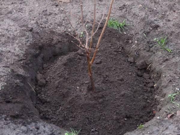 Как вырастить фундук в сибири