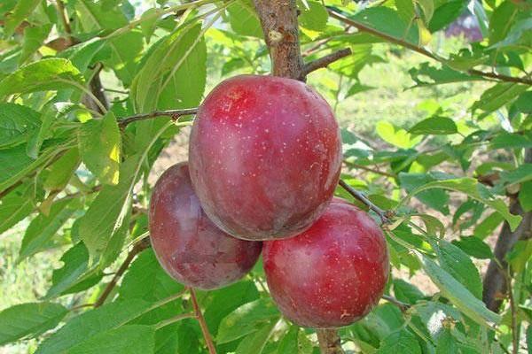 Алыча 'июльская роза' — википедия переиздание // wiki 2