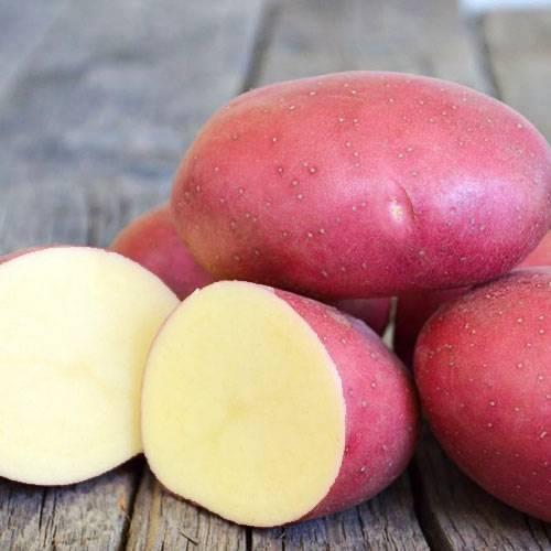 Сорт картофеля «рокко»: характеристика, описание, урожайность, отзывы и фото
