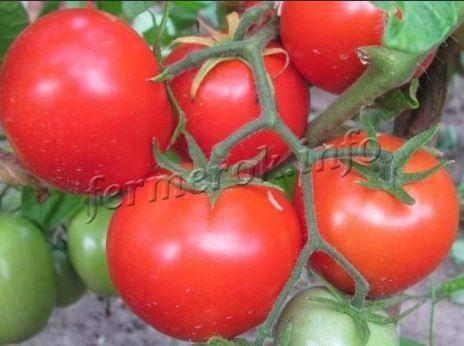 Обзор томата кибиц: фото, особенности, отзывы о сорте