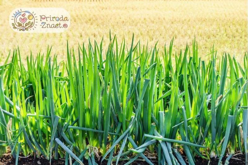 Как посадить лук-батун на рассаду и сразу в открытый грунт