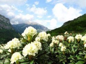 Кавказский вид рододендрона: применение в медицине, лечебные и профилактические свойства