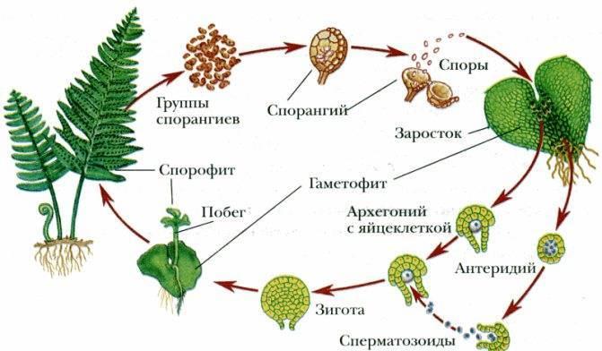 Как размножаются папоротники в природе и в саду