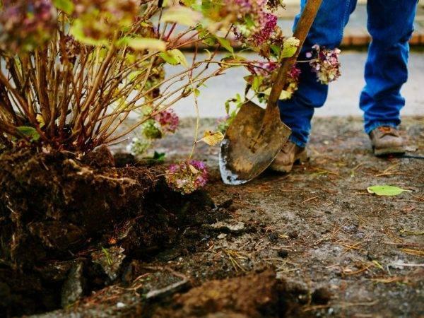 Особенности пересадки цветка гортензии весной, летом и осенью: когда лучше