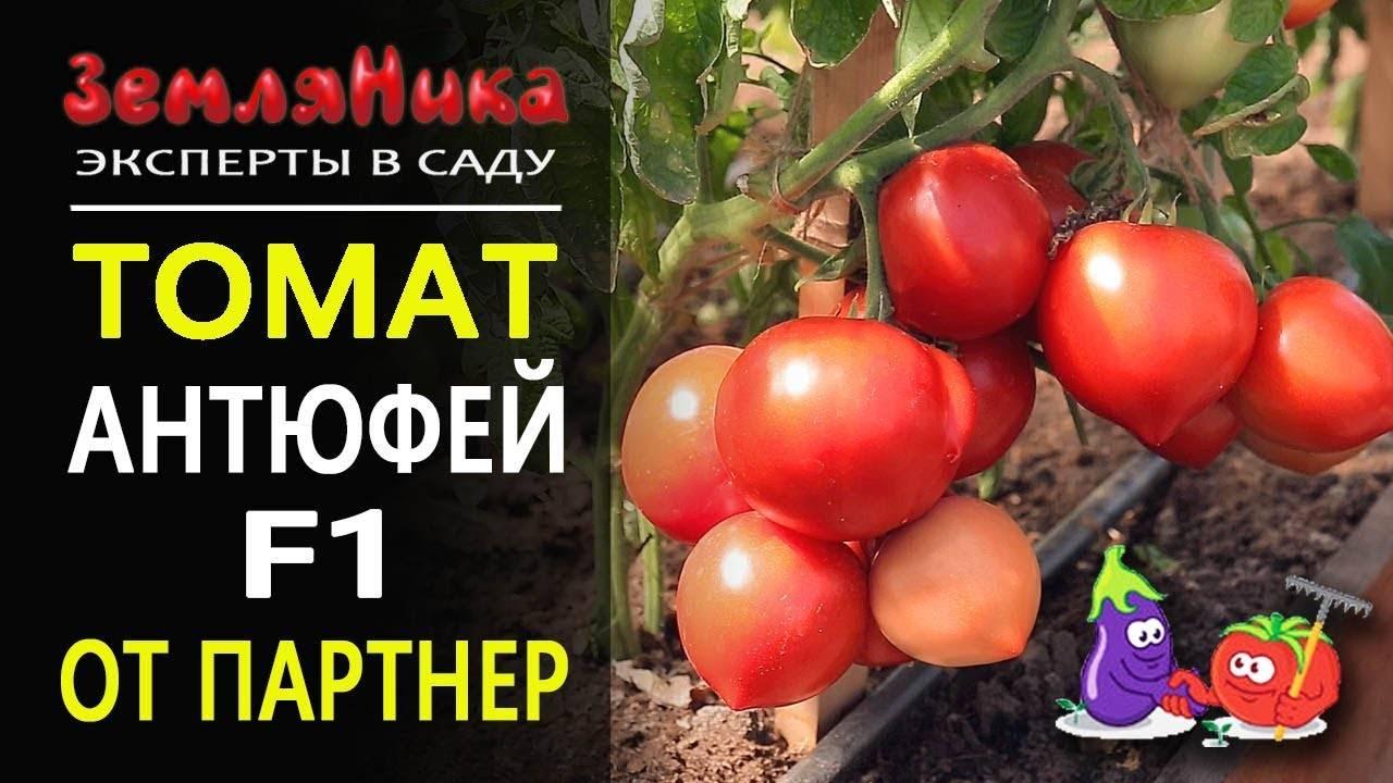 Гибрид томата «аврора f1»: фото, отзывы, описание, характеристика, урожайность