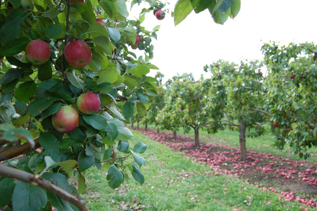 Засухоусточивая яблоня соковое-3