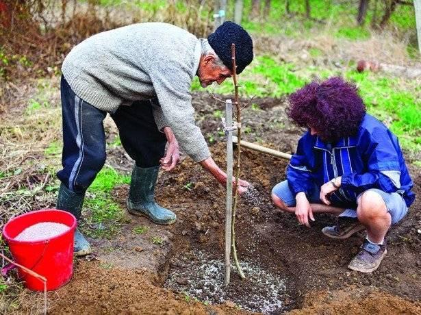 Как ухаживать за персиком осенью: подготовка персика к зиме