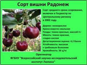 Посадка вишни радонеж