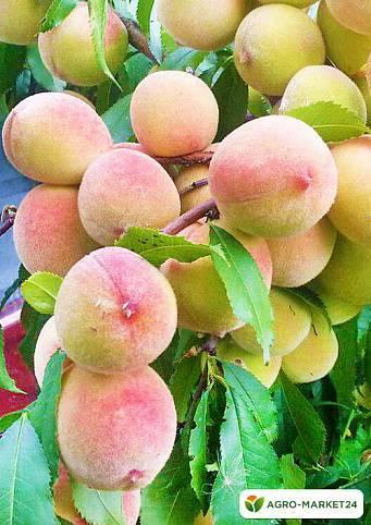 Обзор сорта персика лайка
