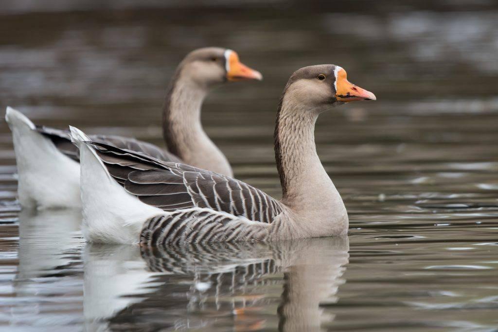 Породы домашних гусей: лучшие породы для разведения